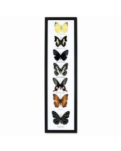 Seven Butterfly Specimens Framed