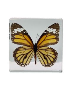 Real Monarch Butterfly Paperweight